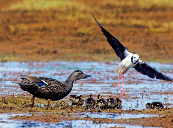 Not all coexisted happily. For instance, once they started breeding, the pied stilts became very aggressive towards other encroaching birds, such as this family of mallards.