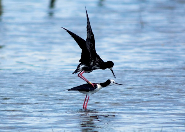 The rare black stilt—actually a hybrid with the common pied species as evidenced by its patches of white—made some unsuccessful attempts to spread its genes more widely