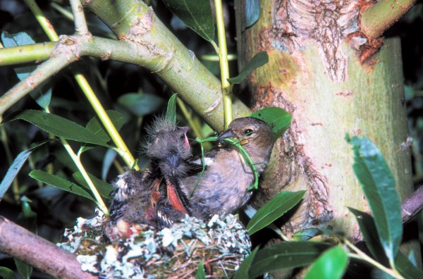 Stick insects are eaten by a variety of birds, both native and introduced, including by chaffinches. They are probably not the most manageable of food items for a chick to get down.