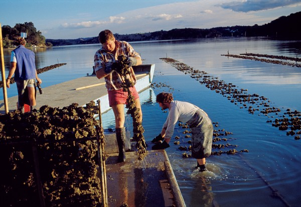 Oysters were the fi rst species to be cultivated locally, and they remain the main form of aquaculture in northern New Zealand with quiet harbours, such as the Mahurangi seen here, the focus of activity. Paua are being grown for both meat and pearls, but so far there are not more than a score of farms.