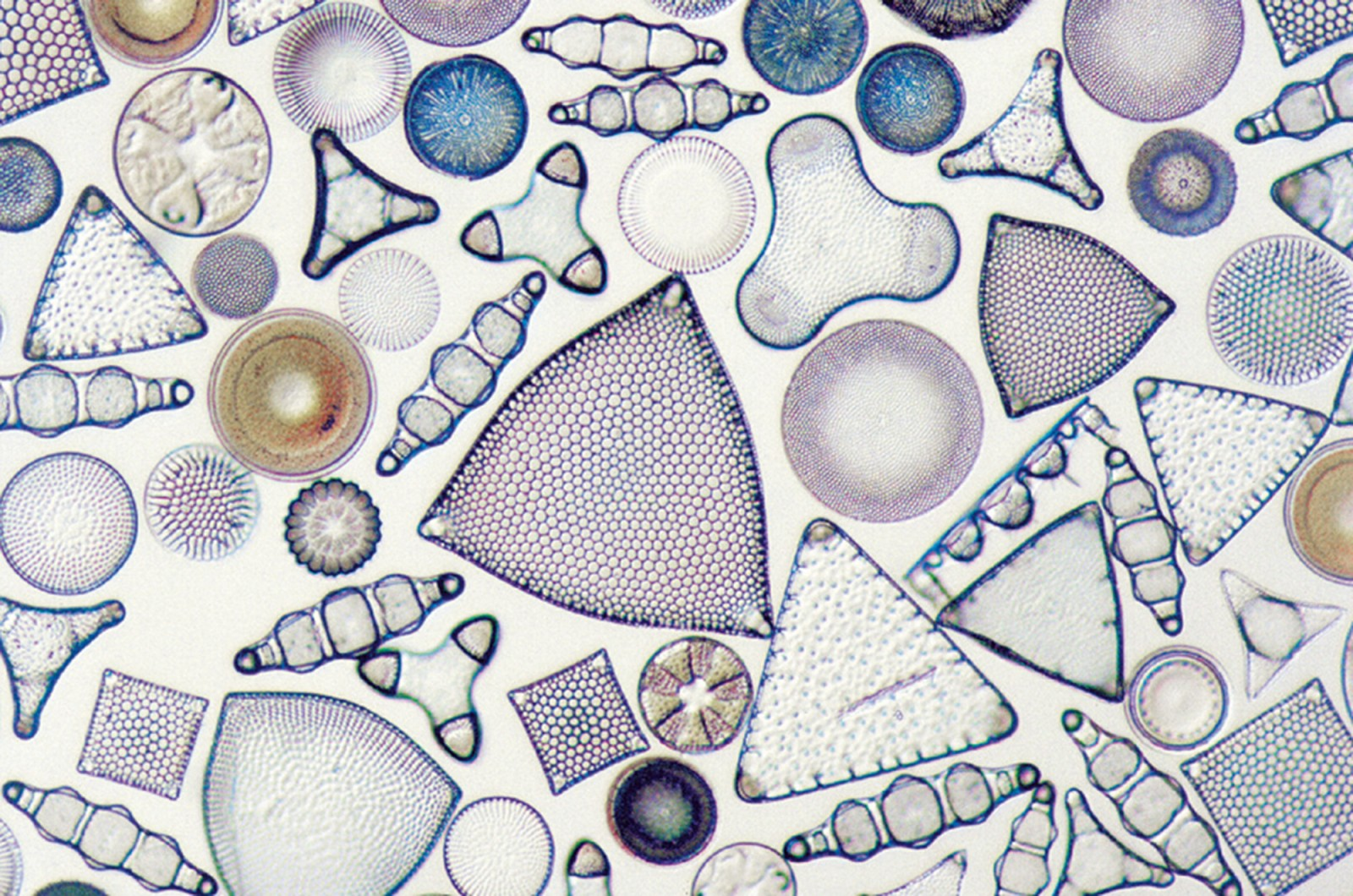 Unfortunately, few fish feed directly on diatoms and other planktonic organisms, and those that do are not much favoured as food fish.