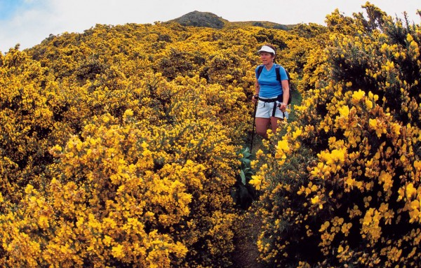 Gorse is a common weed on the peninsula, however local botanist Hugh Wilson considers it a valuable nurse plant for fostering the regeneration of native vegetation. Despite the flamboyance its flowers lend to the landscape, the prickly plant is not looked upon with favour by many hikers who enjoy the area's track.