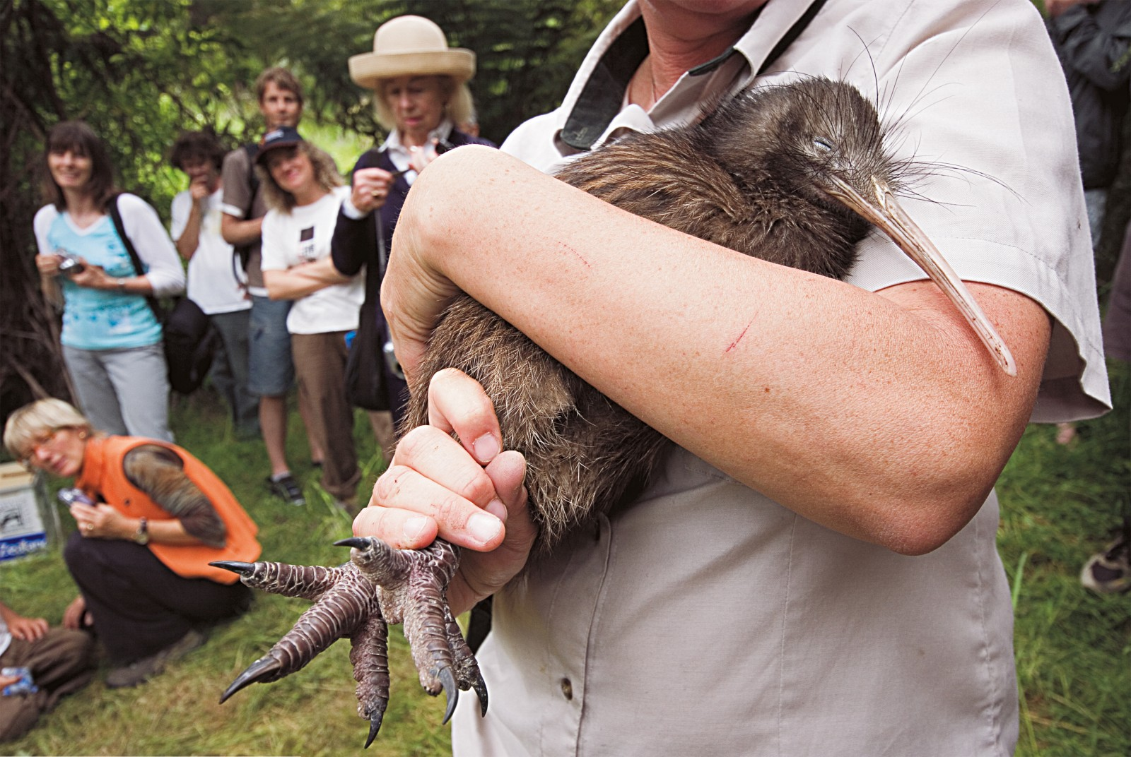 Fifteen kiwi were released in Tawharanui late in 2006 and it is hoped that they will soon start to breed.