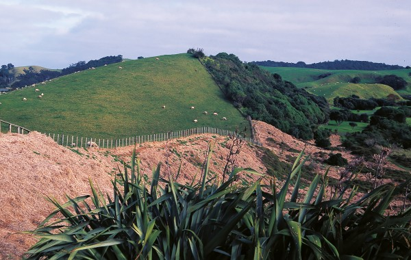 At Tawharanui (upper) a number of areas are being re-vegetated with natives. The face on the right was planted some years ago and natives will be planted in the sprayed kikuyu extending into the foreground.