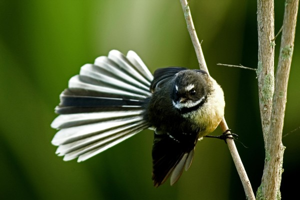The most abundant native bird in the reserve is surely the fantail, breeding freely now without harassment from rats (see NZ Geo issue 55). Native invertebrates, such as peripatus (photographed at Maungatautari, bottom), are far less conspicuous but will also benefit hugely from the removal of rats in mainland islands.