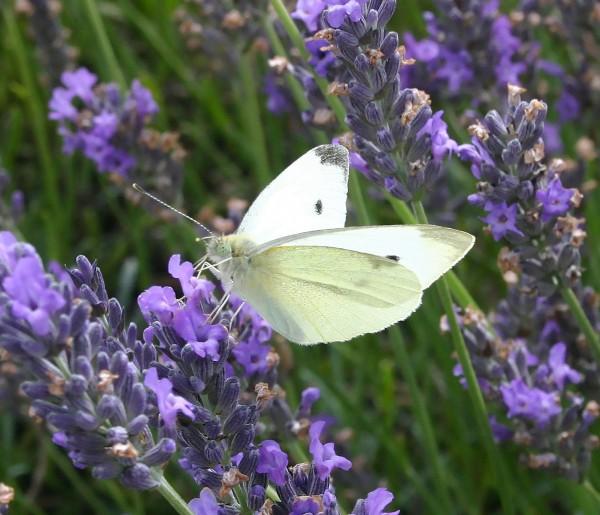 86_lavender_body03