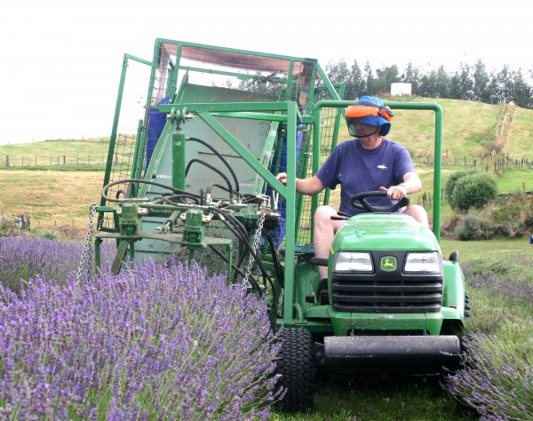 Harvesting the hummocky rows with a tractor-mounted mower which leaves uncut flowers along the sides of the rows.