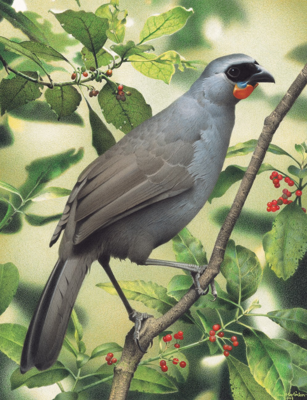 Although South Island kokako have been declared extinct, some believe the birds survive in parts of the West Coast and on Stewart Island. Calls have been heard but no birds have been photographed or seen for some 50 years. In the North Island, birds are confined to the Ureweras, several inland Bay of Plenty and King County forests, the Hunuas, Puketi, some forests around the Hokianga, Little Barrier, Lady Alice and Tiritiri Islands.