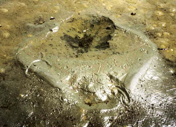 Like crop circles left by visitors from another world, feeding pits remaining on intertidal flats when the water recedes display the characteristic outline of an Eagle ray.