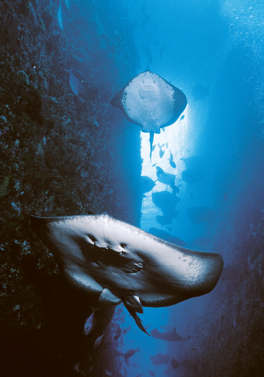 Ray activity at the Poor Knights is a sight to behold—stacks of rays are thought to be linked to the animal's breeding habits.