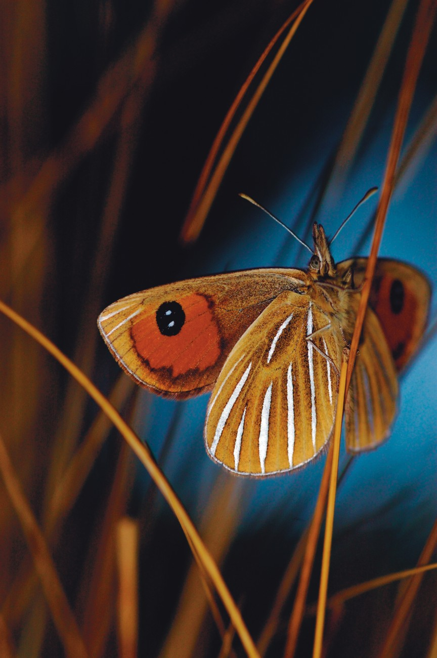 "The silver streaks of a tussock ringlet lend, according to J.H. Lewis' account to the Wellington Philosophical Society in 1900, ""an interest to the otherwise dreary prospect of tussock and shingle"" of South Island high country. No ""Society for the Preservation of Butterflies"" was needed, he claimed, to save the ""hardy little species from extinction; they are secure in the possession of country that laughs to scorn the improving settler."""