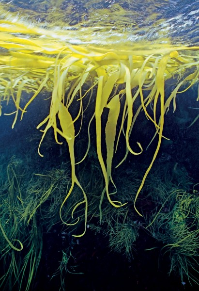 A golden raft of Durvillaea (bull kelp) hovers over another species of kelp at the Snares. Bull kelp is able to float when the holdfast fails and it is possible that it can colonise other coastlines in this manner. Durvillaea antarctica
