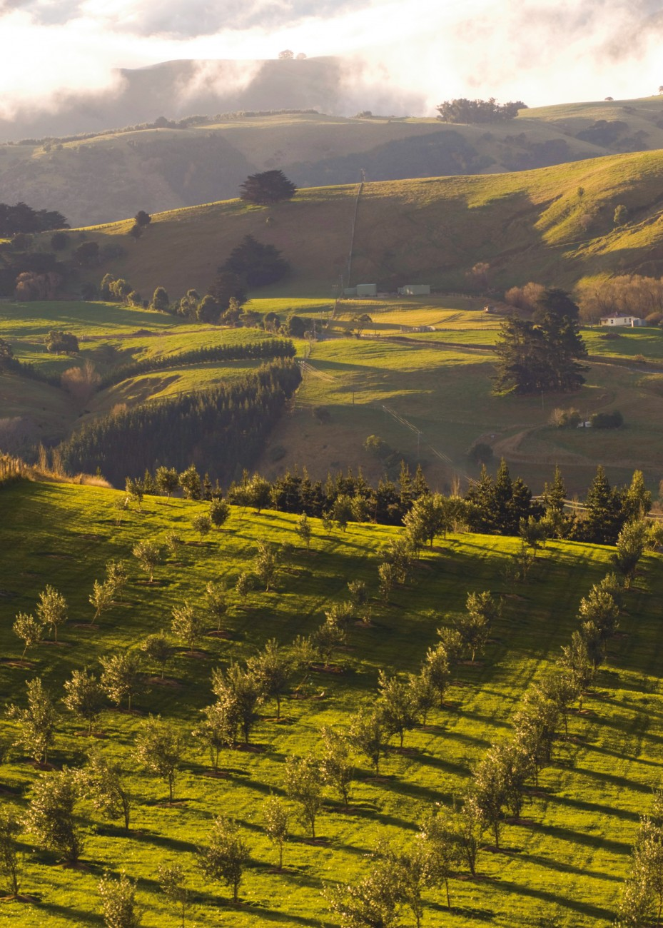 An undemanding and hardy tree, the olive seems ideal for New Zealand soil and climate, like in these hills above Akaroa. The production of oil is still relatively small and the industry young, but when it comes to quality our oils can successfully compete with the best in the world.