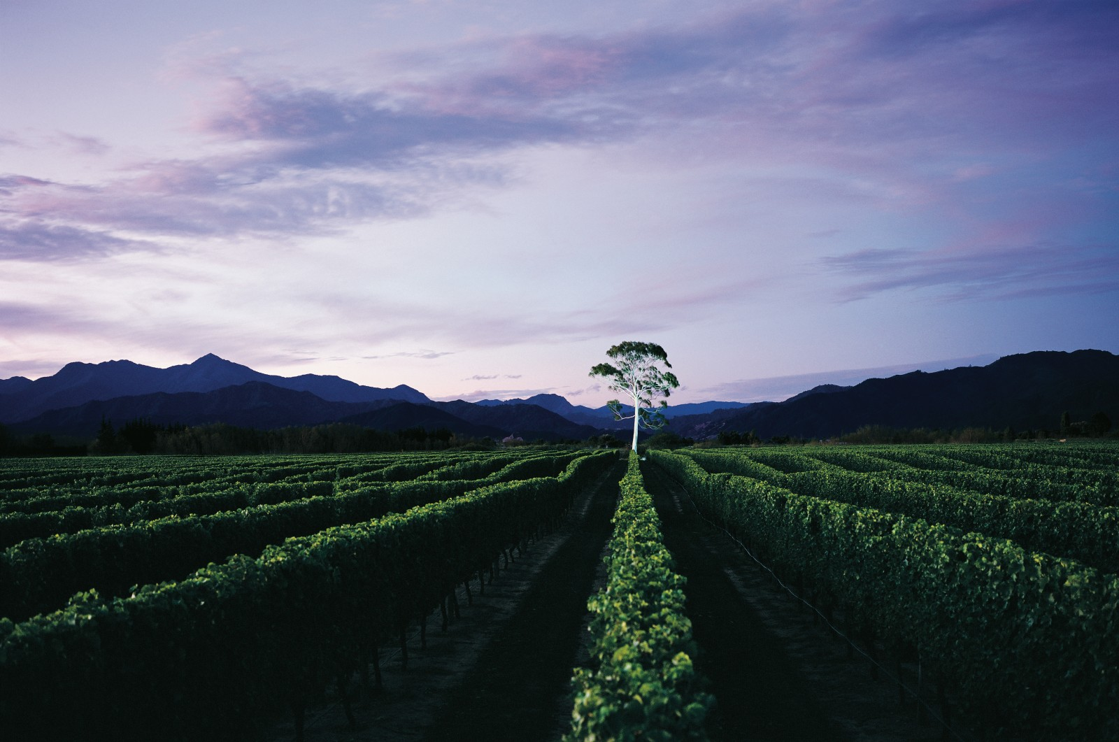 Lone Gum vineyard at dusk, Marlborough