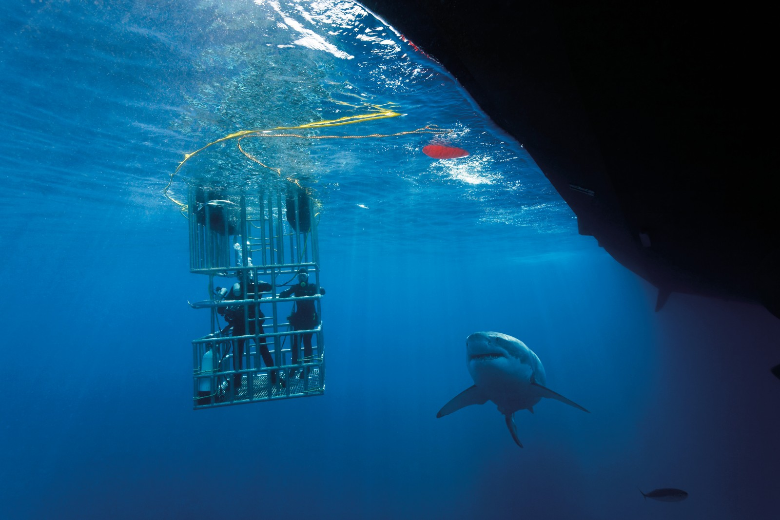 Off the coast of Guadeloupe in Mexico, shark tourism is thriving. But in this zoo, the people are in cages—the subjects of intense scrutiny by curious great white sharks. Above the water operators use minced fish and tuna oil to attract the predators. While the metal bars of a shark cage provide fairly effective protection for those within, there are concerns that sharks are being habituated to associate boats, and divers, with food. In New Zealand, paua divers are calling for a stop to shark cage diving in areas where they work, terrified that the sharks may make this fatal connection.