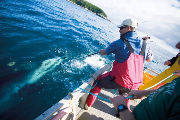 Despite satellite technology, placing the tags on one-tonne sharks is a manual procedure—you have to attract them to the boat with berley and throw baits, then lure them close enough to jab with a spiked applicator.