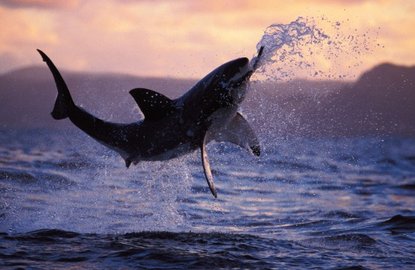 A three-metre, half-tonne great white shark breaching clear of the water on a seal decoy off the coast of South Africa gives us some idea of the power they can summon. A back of envelope calculation reveals that it would need to be swimming in excess of 50 km/h—twice as fast as the accepted top speed of a bottlenose dolphin. In New Zealand, white sharks have been seen breaching at the seal colony at the mouth of Tory Channel, off Hawke's Bay, Taranaki and Stewart Island.