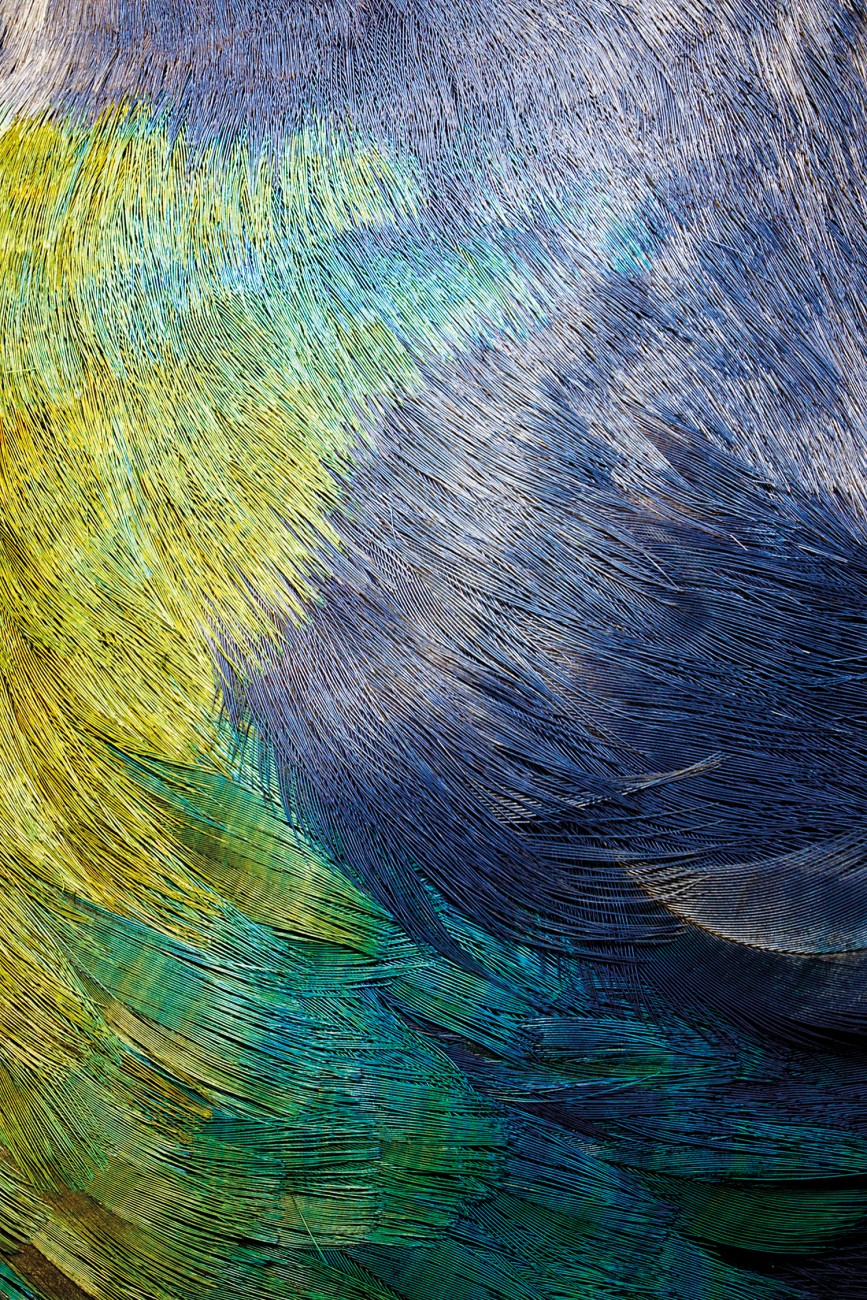 "Despite their iridescent plumage, takahe are well camouflaged within the patchwork of light and shadow that is their tussock habitat. ""You'd think you would see them well, green-blue against yellow, especially with that big red beak of theirs,"" says ranger Martin Genet, ""but they can just tuck the beak away and disappear before your eyes. It's quite a vanishing trick."""