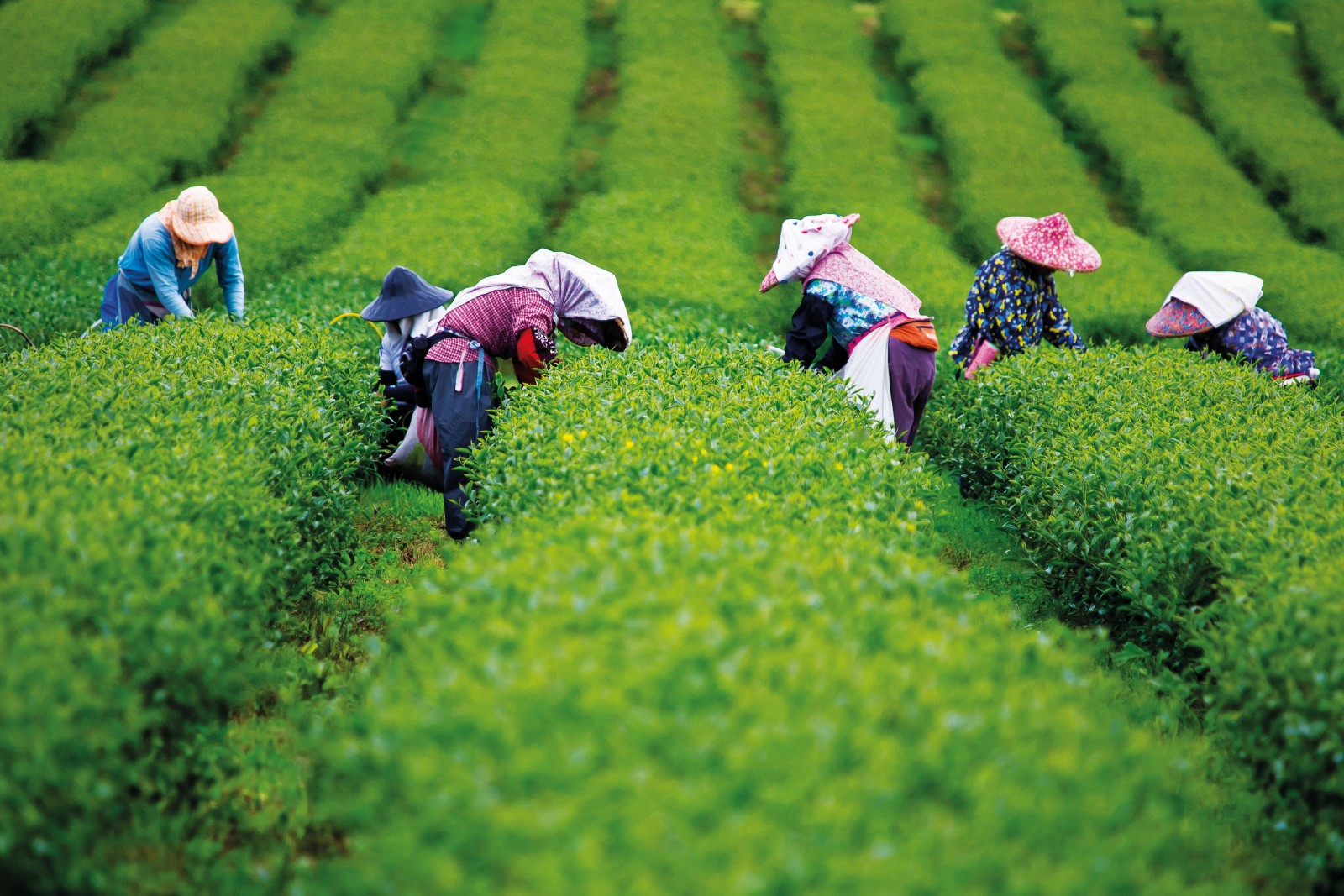 It's easy to feel transported to the hills of Taipei by visions of tea-pickers working neat rows of Camellia sinensis, but this scene plays in reverse—professional tea pickers travel from Taiwan to work this plantation on the outskirts of Hamilton, a location better known as a capital of New Zealand's dairy industry. Images such as this might become more common as local producers harvest the export potential of the crop.