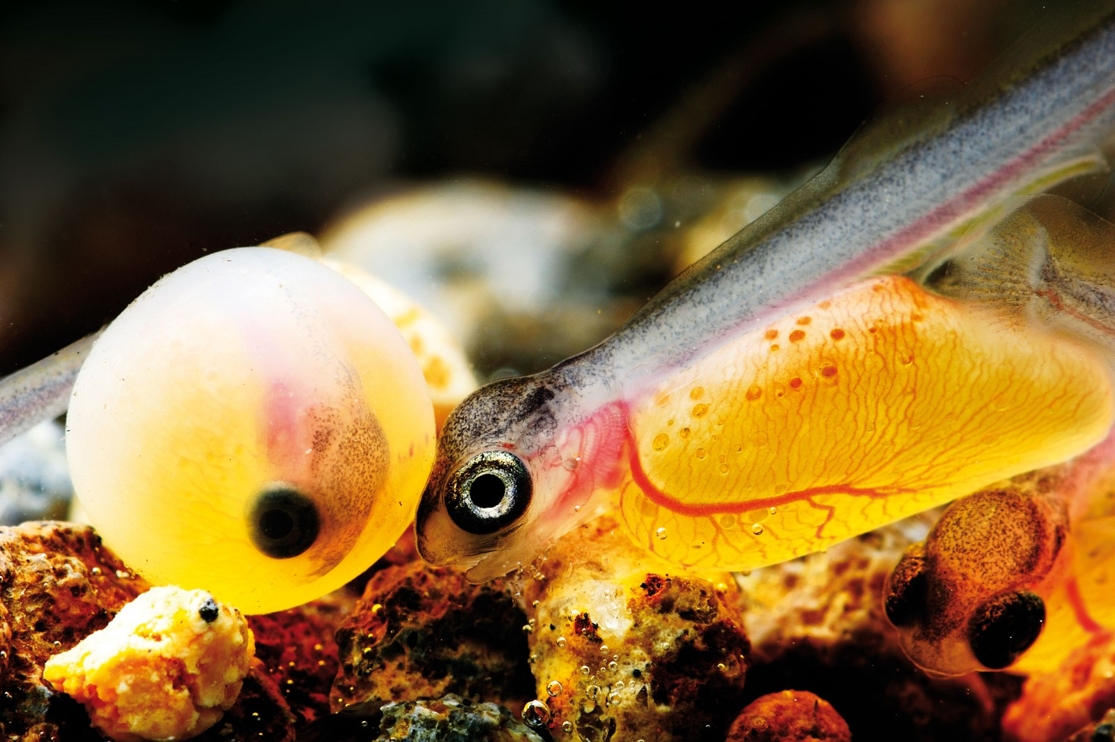 A newly-hatched alevin nudges a sibling that is yet to hatch. Clearly visible are the blood vessels in the yolk sac and the brain cap over the eyes where the top of the skull will form. The eyes are the most distinct feature, but the developing dorsal fin on the back and the blood-rich gills behind the eyes are also obvious. Rainbow trout choose to breed in winter in rivers with a moderate flow and gravel bottom. Hard stones such as granite or greywacke provide gaps for the eggs to fall into and a good surface for algae growth and insect production to provide food for the emerging fry. Although pumice is the predominant geology in the Volcanic Plateau —which includes Taupo and the Rotorua lakes—it is more mobile and has fine particles that tend to seal the gaps around the developing eggs, depriving them of oxygen. Egg survival in pumice is very low, a reason for the man-made trout hatchery in Rotorua, which produces up to 100,000 one-year-old fish for the local lakes each year.