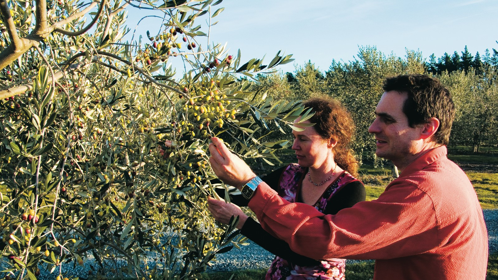 "Just hours before harvesting, and with the oil press already booked and confirmed, Jacqui Harris and Paul Irwin examine the fruit of their love for olives in the Antipode grove west of Blenheim. ""As a business we sometimes feel as hard-pressed as the olives themselves,"" Jacqui says, ""but when we taste the results, when we hear all the good feedback from our customers, we know we're onto a good thing."""