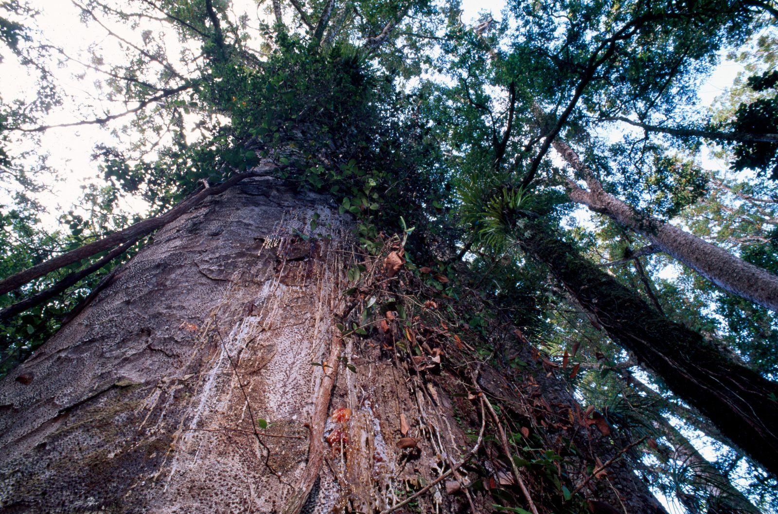 All conifers produce resins, but kauri is one of the most prodigious bleeders. These mammoth trees, which can live for a thousand years or more. produce resin in response to injury or attack by other organisms. Over time, the trickles of resin seeping out of the tree can form huge lumps of solidified gum, some of which have weighed as much as 250kg.