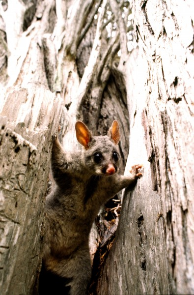 Some possums make their dens high above ground in the forks of trees or in clumps of perching plants, but most den entrances are near ground level. Curious possum leaves its den in the hollow of a tree to investigate a disturbance.
