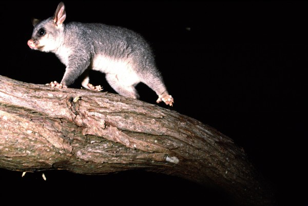 Possum  An ecological nightmare  | New Zealand Geographic