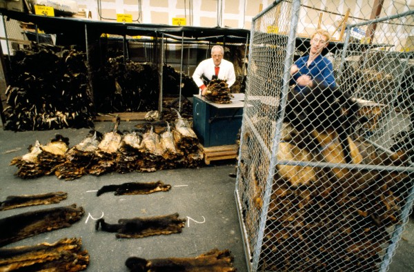 Foreman Robin Fraser and manager Gordon Tocher sort pelts for an export order. There are signs that 1992 will see the beginnings of a recovery in the fur trade.