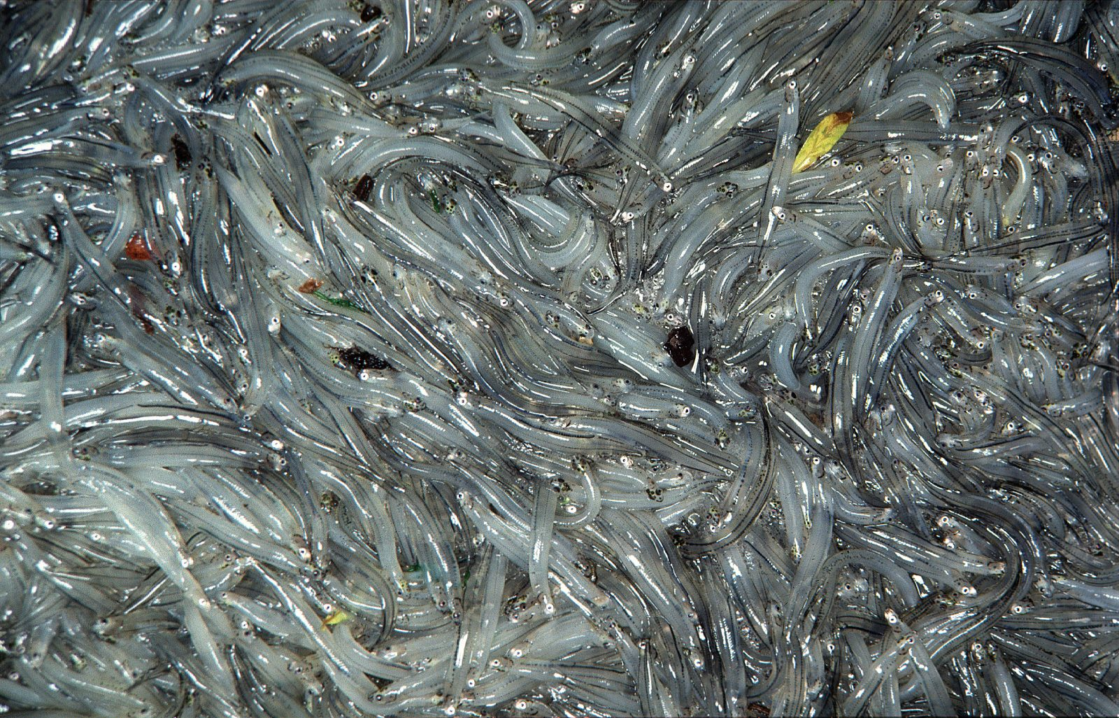 The grandiloquent Robert Morley publicly scorned them, but for many New Zealanders whitebait are paradise with fins on. The main component of the whitebait catch is the juveniles of a small galaxiid fish called inaka (if you use the South Island Maori spelling) or inanga shown here about twice life size. A characteristic feature of inanga whitebait is the dark speckling along the back and sides of the body.