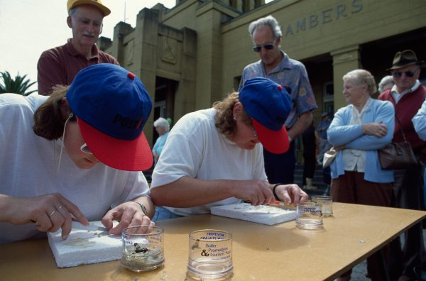 One of the traditions of the whitebaiting season is the annual filleting contest. Contestants have two minutes, and the team with the most fillets wins. Each slippery fish must be deheaded, tailed and sliced down the middle. Here, second placegetters in the Westport contest, Diane McKinlay (left) and Joane Smith, race the clock.