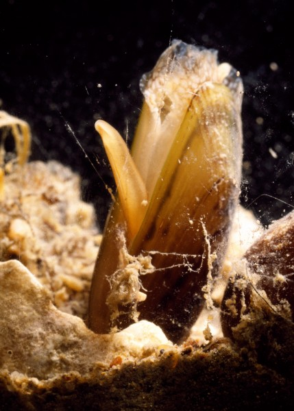 A close-up of the mussel shows how it uses its thin, extensile foot to secure anchoring byssus threads (fine silvery lines) to nearby surfaces.