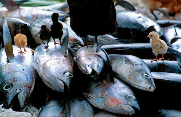 The age-old practive of inati-dividing the catch so that everyone gets a fair share-is an exacting affair conducted according to a register of each household's needs. So far this example of true village communism (unique in the Pacific) has resisted the individualist temptations of the cash economy that is slowly being established. Yellowfin tuna (below) is the main fish species caught.