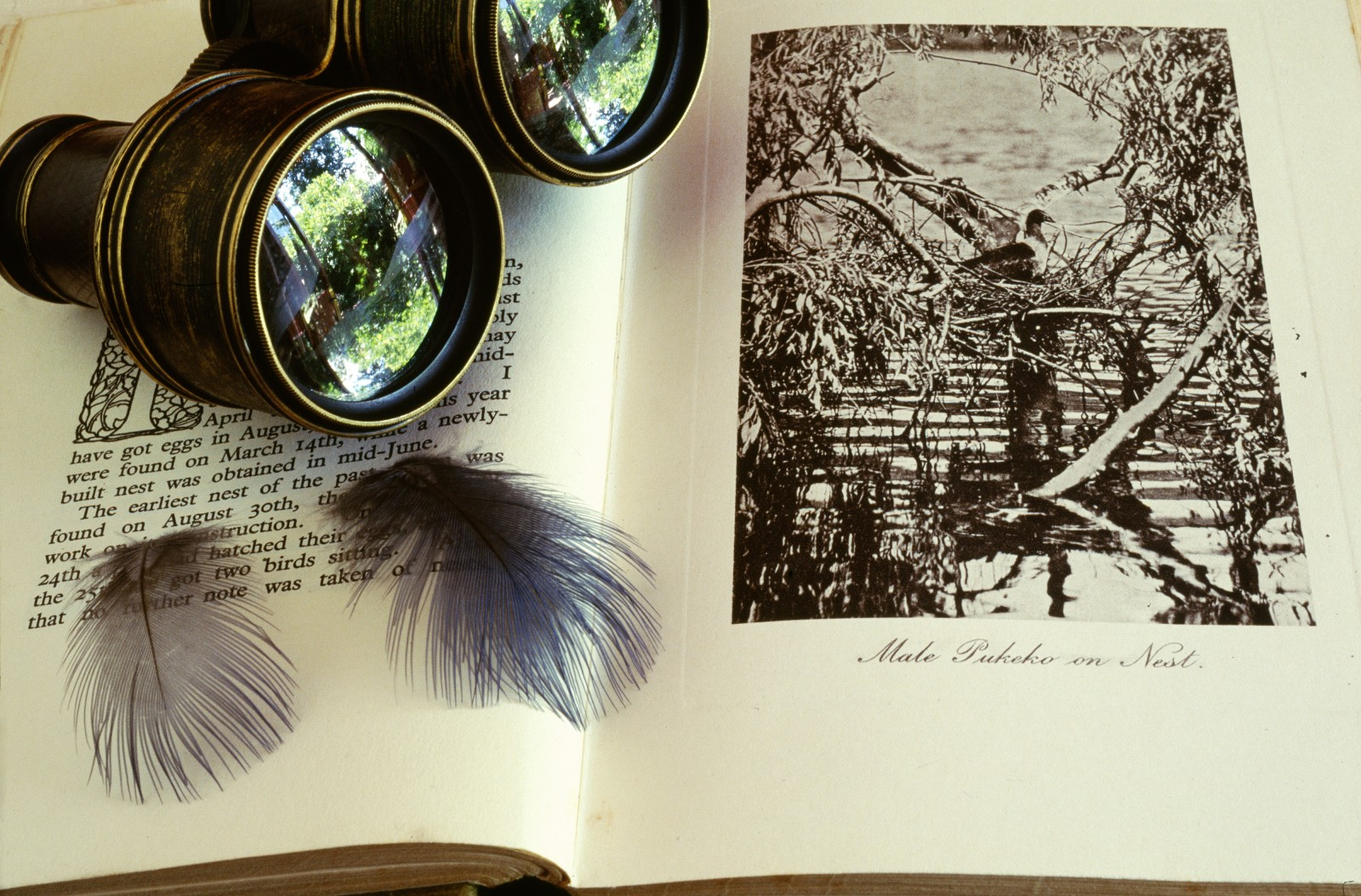 Photographing birds was one of Guthrie-Smith's enduring joys. Although his field glasses appear well used, in fact he disclaimed all optical artifices, reckoning time invested in getting really close to birds-even if it meant crouching in a swamp-yielded a rich dividend of detail.