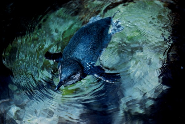 New Zealand has several endemic species of penguin, including the world's smallest: the little penguin.