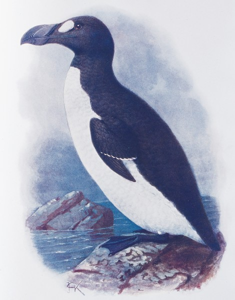 The first seamen to glimpse penguins thought that they were great auks, a flightless diving bird of the North Atlantic exterminated last century. Although penguins and great auks do indeed look similar, they are not closely related. New Zealand has several endemic species of penguin, including the world's smallest: the little penguin.