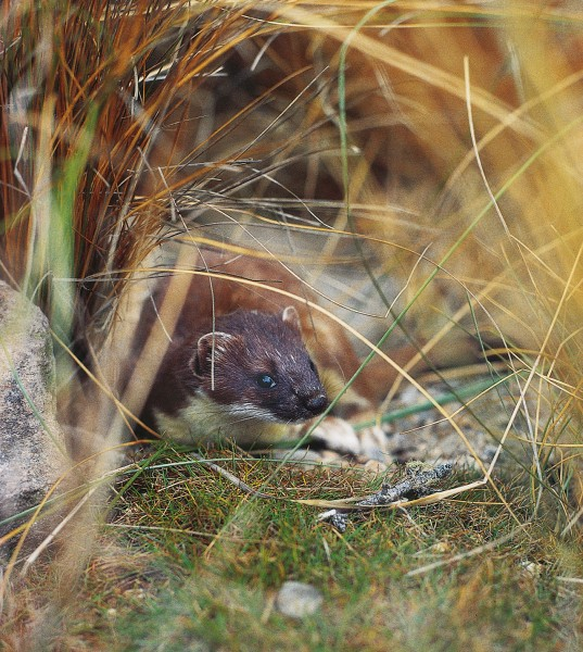 Stoats and other equally stealthy predators continue to threaten small flightless birds on many of their island refuges.