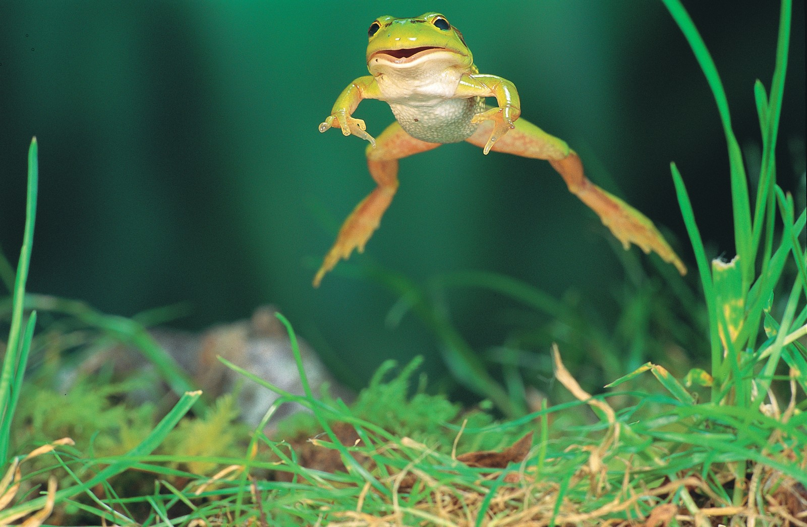While frogs can walk, crawl and swim, the hop is their defining characteristicably demonstrated by this green and golden bell frog. But with reports of a worldwide decline in frog numbers, will our amphibious friends be able to keep one jump ahead of the problems that threaten them?