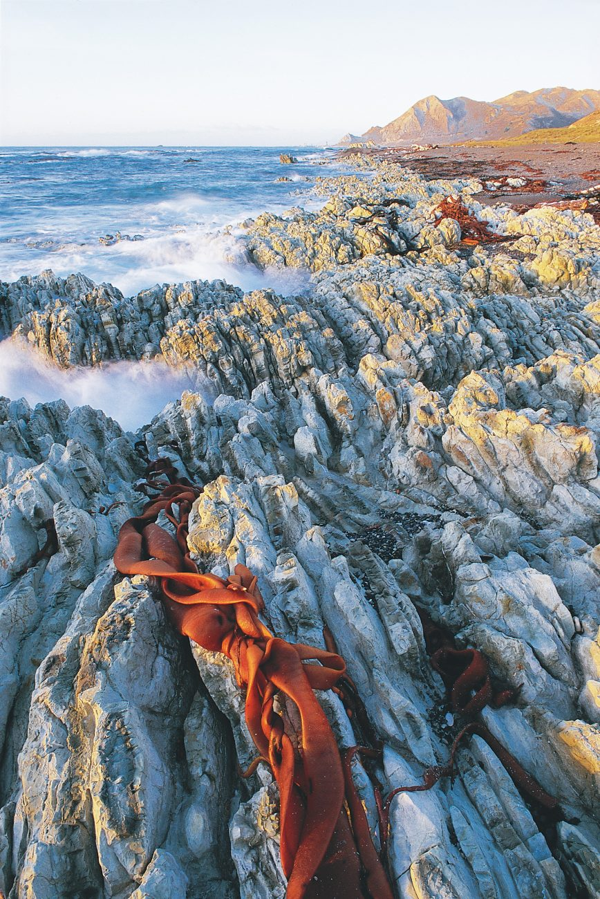 Out on the Marlborough coast at Ward Beach thin layers of porcelain-hard limestone rock have been bucked into a variety of contorted forms by geological uplift and the battering of the sea.