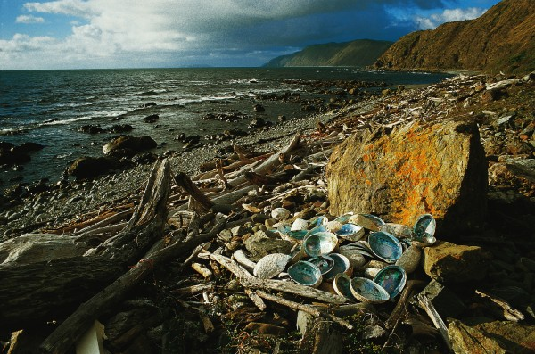 Abalone worldwide prefer temperate to tropical waters, and paua grow much larger in the southern North Island and South Island than they do in the Hauraki Gulf, where almost no specimens reach the minimum legal size of 125 mm. This pile of discarded shells at Makara Beach, near Wellington, bears testimony both to the abundance of the shellfish and a beach barbecue long past.