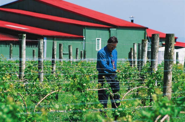 Wesley Ah Chan inspects the plants at Totara Vineyards, near Thames, established in the 1920s by his grandfather-the subject of his dictionary essay. Reputedly the first Chinese winemaker in the southern hemisphere, market gardener Joe Ah Chan was a founding member of the Chinese nationalist party, the Kuomintang, in New Zealand, but was sufficiently moved by the poverty of the Depression also to join the Labour Party.