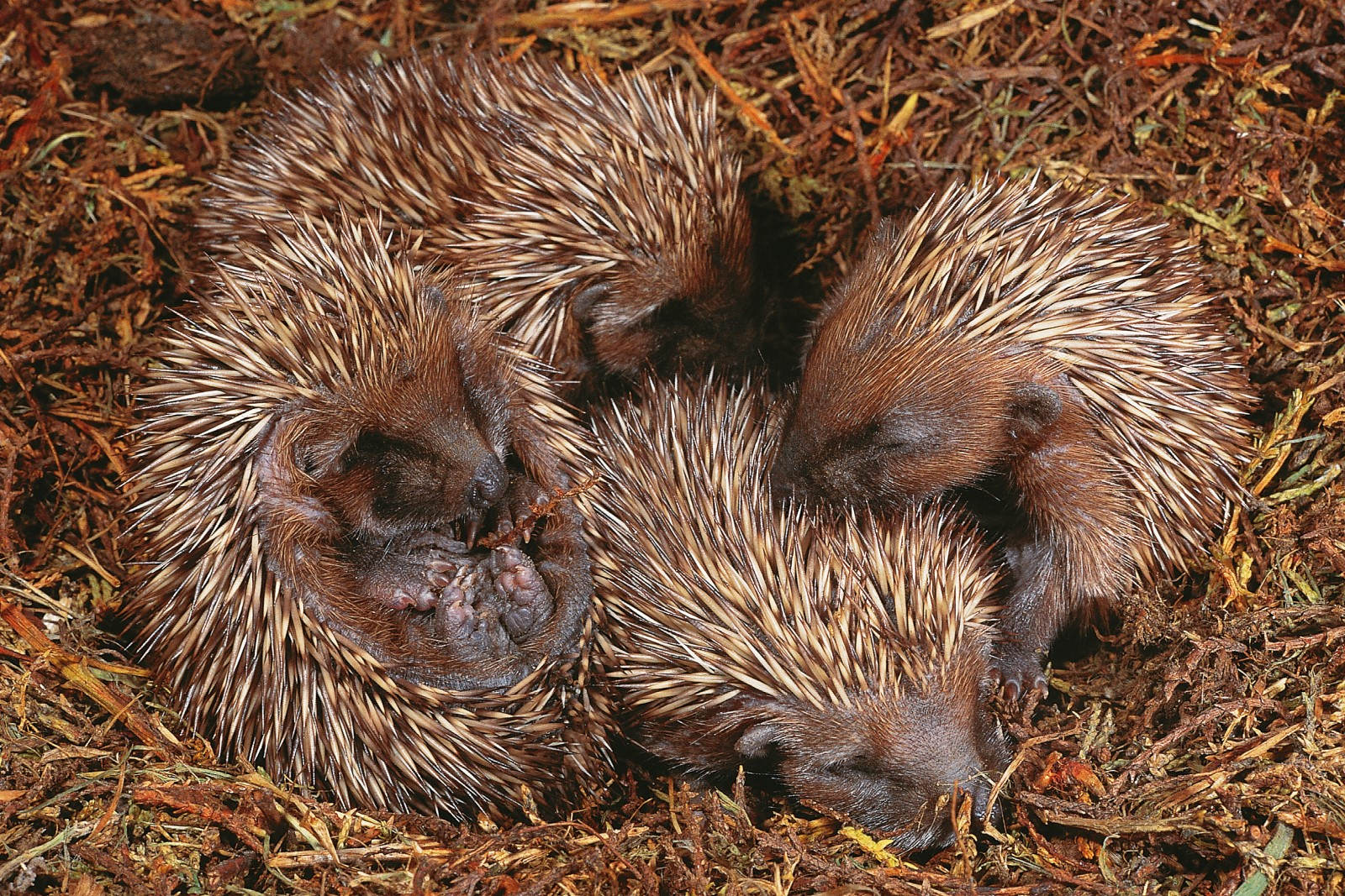 By the time they become independent of their mothers at six or seven weeks of age, only one or two of this litter will likely remain, for mortality among baby hedgehogs is high. Born without spines, the babies sprout white prickles within a day. A darker set starts to grow a day or two later. These 20-day-old hoglets are just starting to see their world, for hedgehog eyes remain closed for the first two weeks of life.