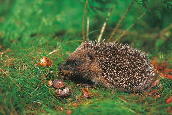 Although hedgehogs are classified in the mammalian order Insectivora, and insects are the main ingredient in their diet, snails, millipedes, lizards and carrion are also readily eaten.