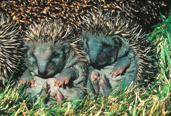 For the love of hedgehogs   New Zealand Geographic