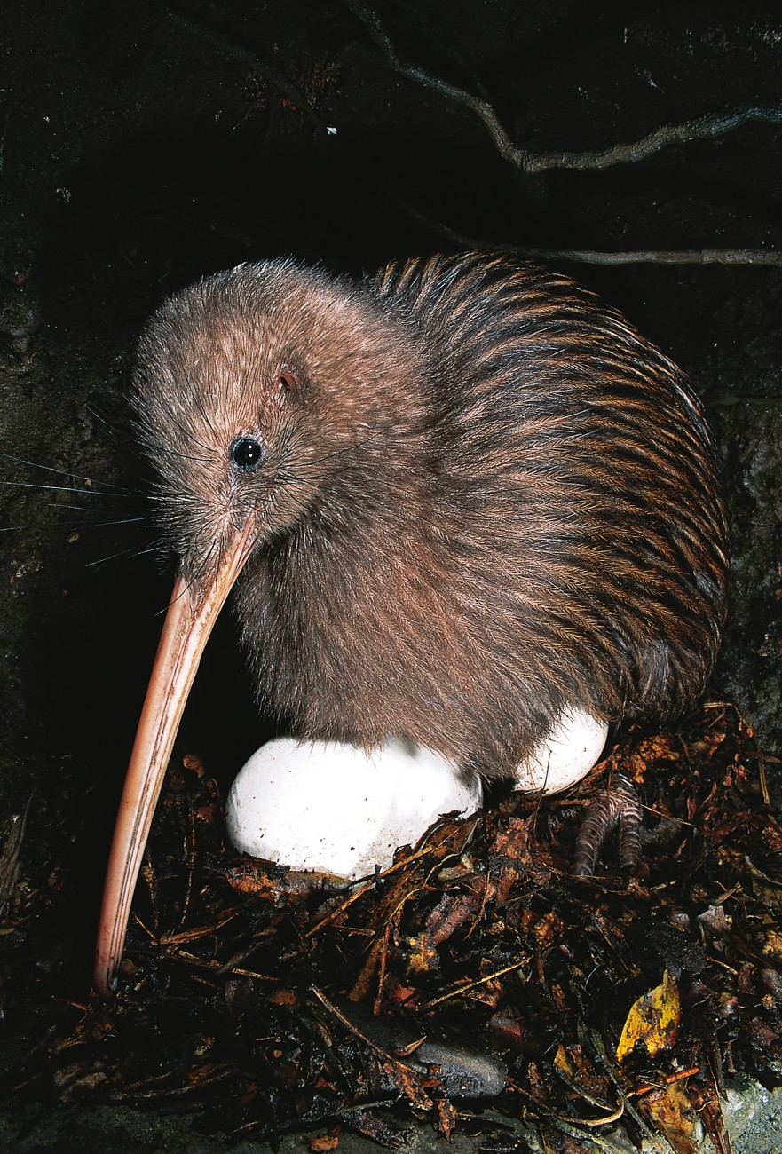 Kiwi chicks have no egg tooth at the end of the bill to help them pierce the shell, and hatching can be a difficult business, taking three or four days in some cases. Young birds emerge fully feathered and provisioned with sufficient yolk to sustain them for their first week of life. Thereafter they have to provide for themselves, for kiwi parents never feed their offspring.