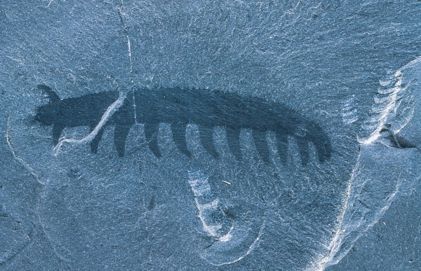 "Peripatus may boast a lineage more ancient than that of New Zealand's other, more famous, ""living fossil,"" the tuatara. Early marine animals, such as this 500-million-year-old fossil from the Burgess Shale in British Columbia, appear remarkably similar to living onychophorans."