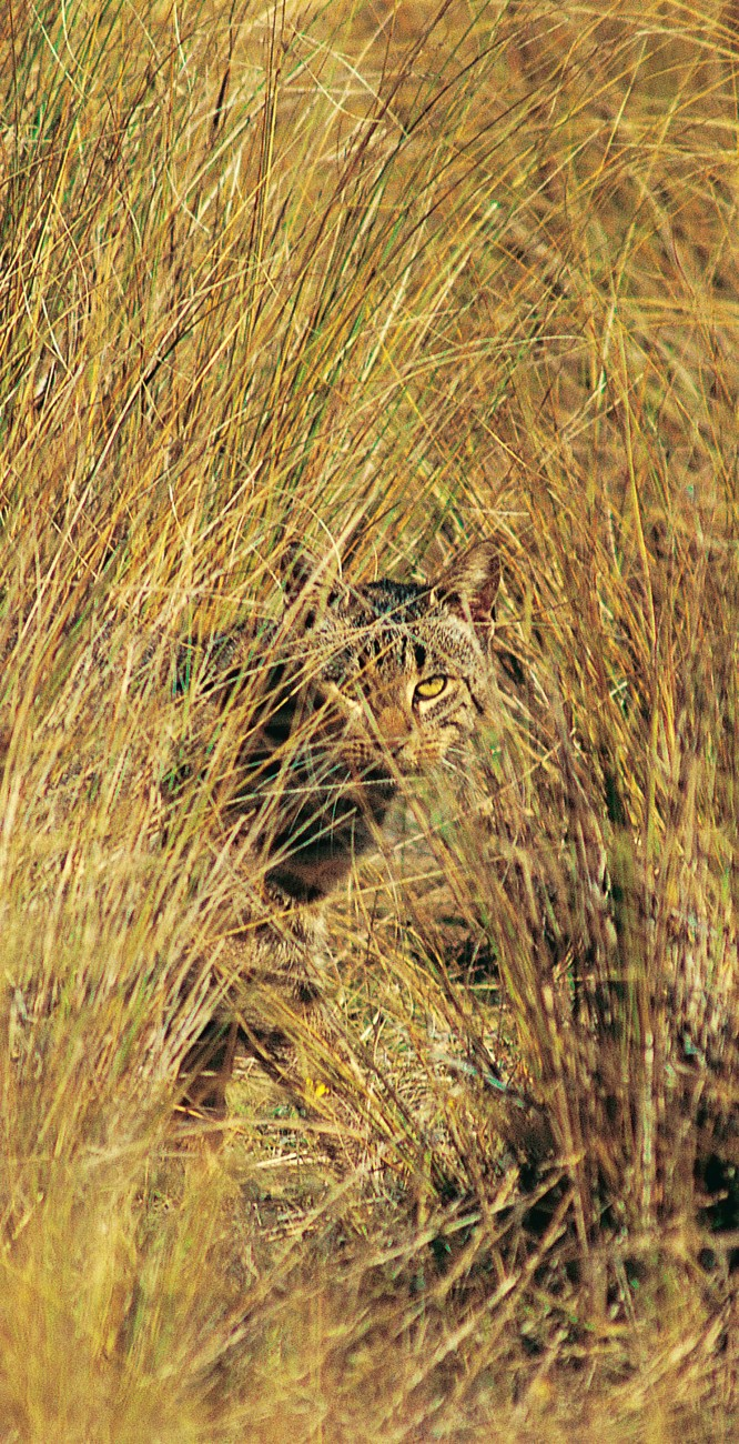 One ofNew Zealand's most destructive introduced preda- tors is the domestic cat, many of which now live wild. Feral cats stalk the bush and open country in their thousands, preying on insects, birds and reptiles.