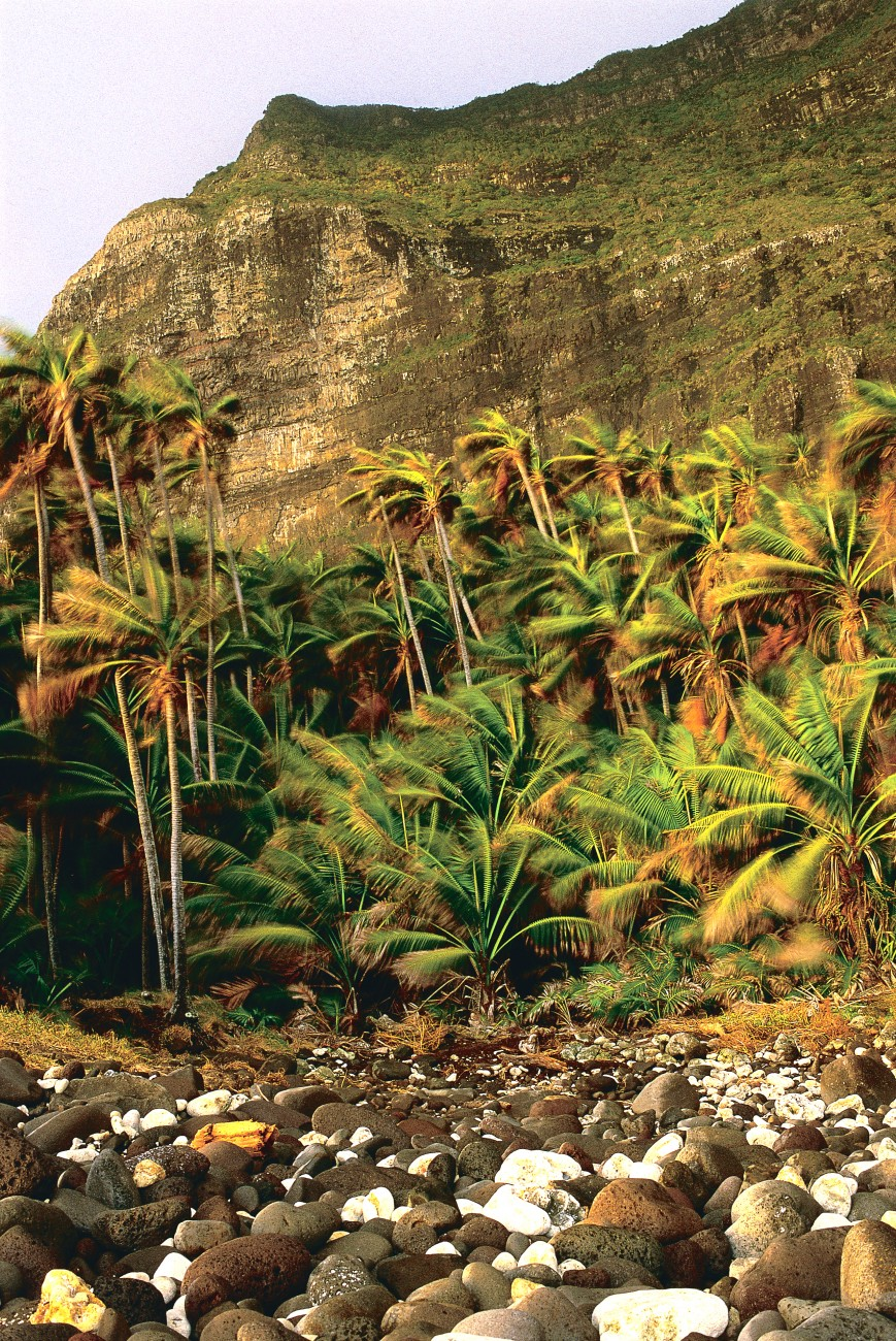 Kemtia palms—endemic to Lord Howe—dominate the island's lowland forests. Despite their spindly trunks and thrashing fronds, this stand, below the precipices of Mt Lidgbird, are well able to withstand the salt-laden 100 km/h squalls of winter.