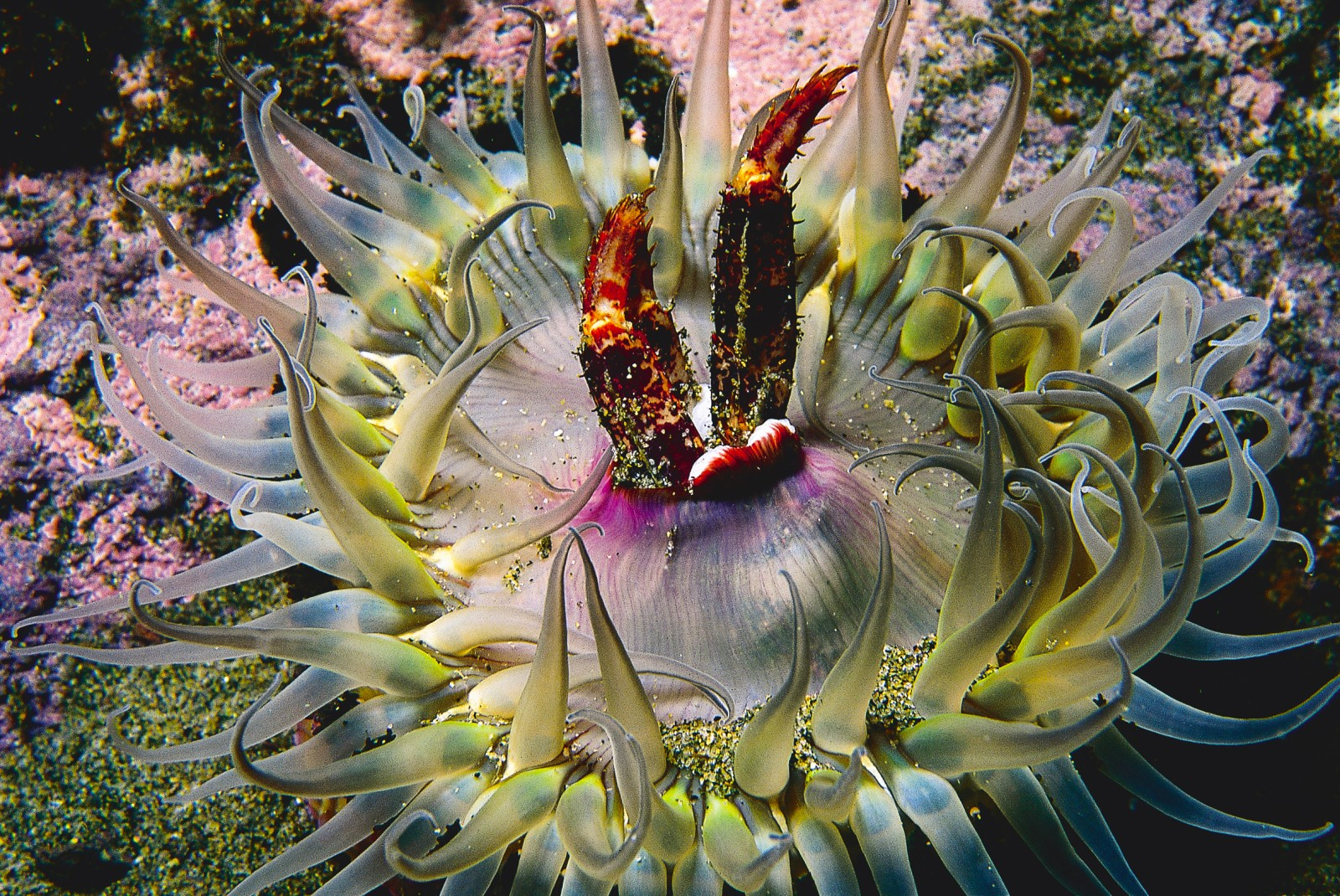 Crabs are not customary prey for sea anemones, so it is likely that these legs had parted company with their owner before falling into the arms of the anemone.