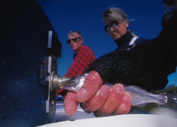 A salmon smolt has a 1mm coded tag inserted by machine before it is released into the Waitaki. A fin is clipped to indicate the tag, and anglers return heads from marked fish along with length and weight information to fisheries scientists. Such gleanings provide insights into growth rates, survival and movements of wild fish.
